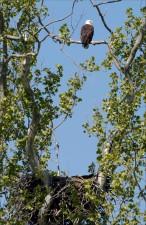 лысый орел, высокий, дерево, топ
