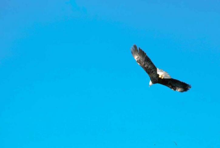 łysy, orzeł, jasne, niebo, latanie