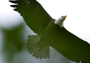 bald, eagle, flight, overhead