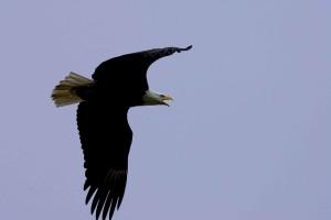 kaal, adelaar, vlucht, overhead, vogel, raptor