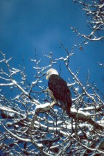 bald, eagle, snowy, tree, branches