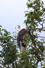 bald eagle, bird, animal, tree