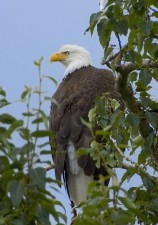 bald, eagle, tree, top