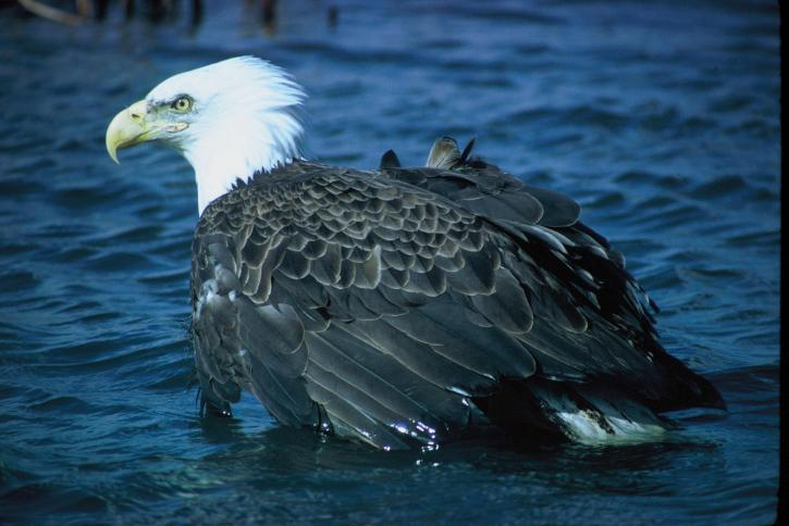 bald, eagle, water