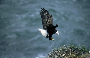 bald, eagle, landing, nest