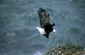 bald, eagle, landing, nest