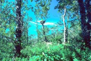 skaldet, eagle, naturlige habitat, eagles, reden, træ