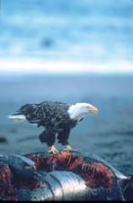chauve, aigle, baleine, carcasse