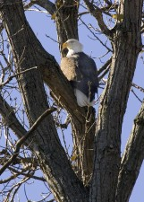 bald, eagle, tree, predator bird