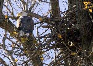 chauve, aigle, nid, arbre