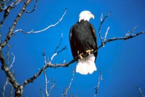 bald, eagle, raptor, bird, prey