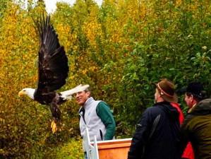 bald, eagle, released, rehabilitation