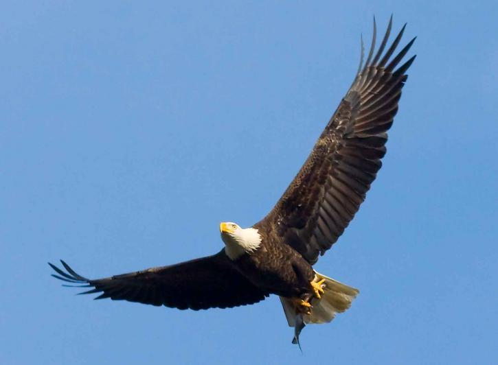 bald, eagle, fish, talons