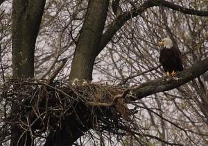 chauve, aigle, jeunes, oiseaux, proie
