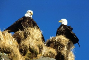 bald, eagles