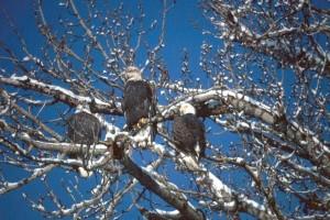 bald, eagles, tree