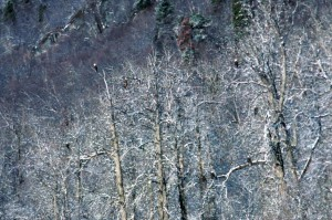 bald eagles, birds, forest, trees
