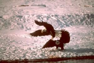 bald, eagles, snowy, river, bank