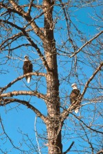 bald, eagles, trees