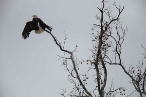 Eagle, topp, tree, haliaeetus leucocephalus