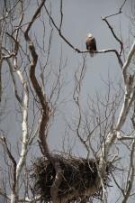 Orao, sjedenje, stabla, gnijezdo, haliaeetus leucocephalus