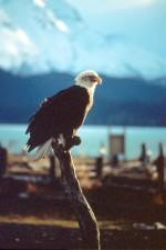 haliaeetus, leucocephalus, bald, eagle, bire, looking, far