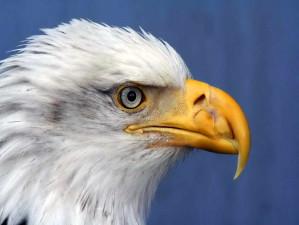 haliaeetus, leucocephalus, chauve, aigle, détails, de près, le visage