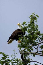 haliaeetus, leucocephalus, bald, eagle, top, tree