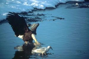 σπάνιο, leucocephalus, πουλί, νερό, κυνήγι, φαλακρός, αετός
