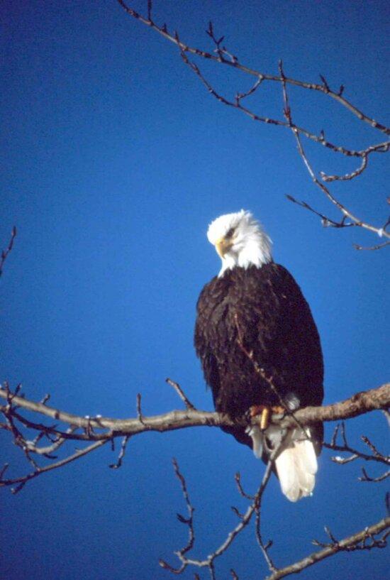 haliaeetus leucocephalus, eagle