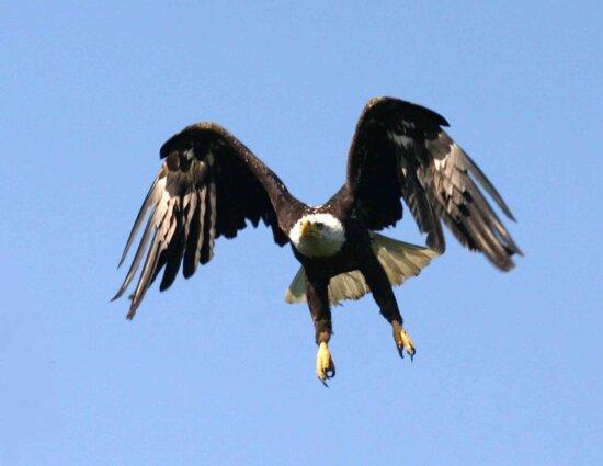 haliaeetus leucocephalus, flight, bird