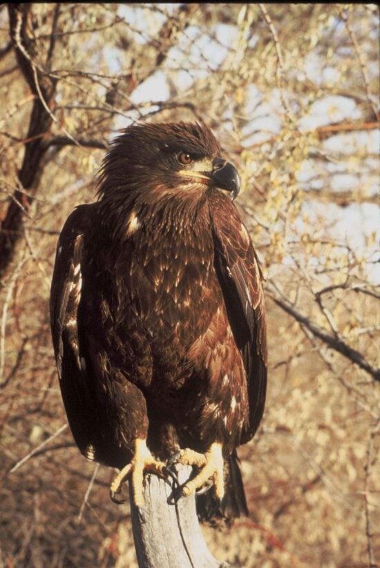 immature, bald, eagle