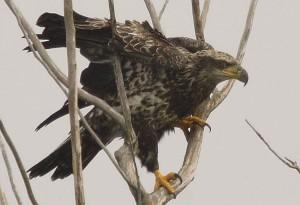immature, bald, eagle, bird, haliaeetus, leucocephalus