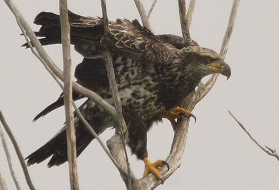immature, bald, eagle, bird, haliaeetus leucocephalus