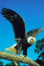 prédateur, rapace, chauve, aigle, oiseau