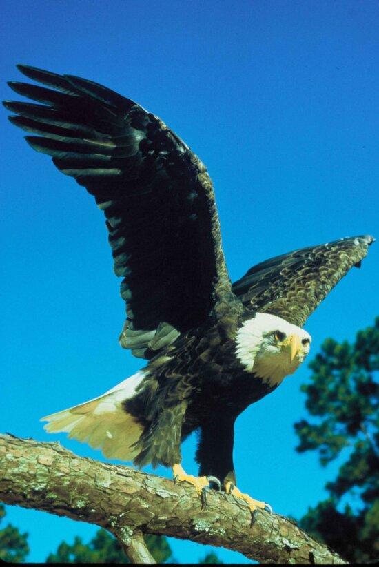 predator, raptor, bald, eagle, bird, eagle, bird