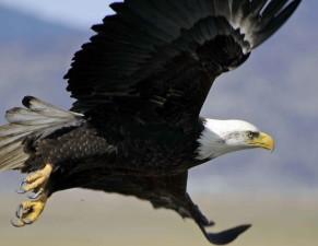 rapace, oiseau, chauve, aigle, vol