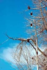 raptors, eagles, birds, tree