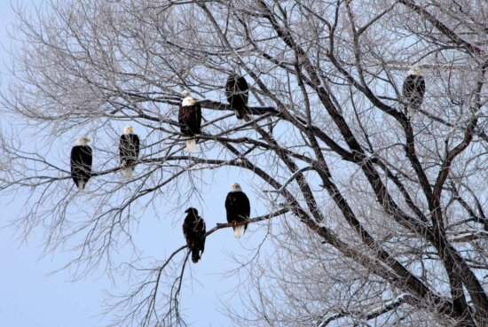 several, bald, eagles, roost, tree