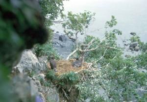 eagle, cliff, nest