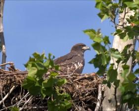 aigle, nid, arbre, photographié, terrain