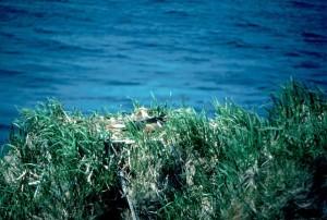 aigle, nid, lac, herbe