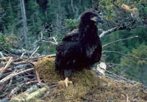 aigle, nid, oiseau, nid