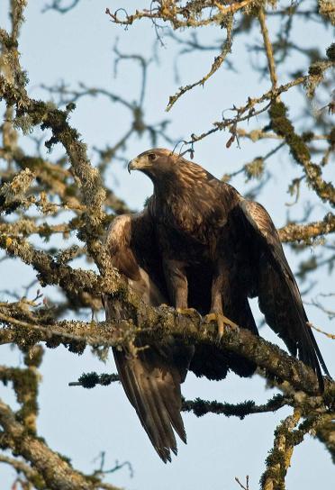 or, aigle, aquila, chrysaetos, oiseau, arbre