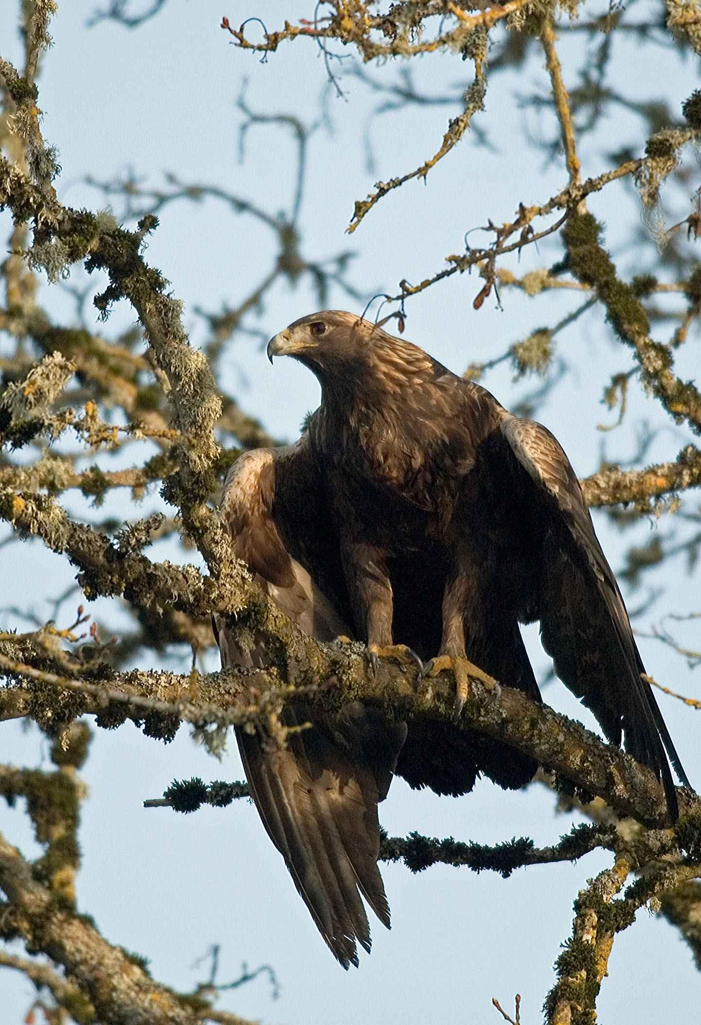 free picture golden eagle aquila chrysaetos bird tree