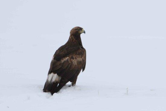 golden, eagle, bird, aquila chrysaetos