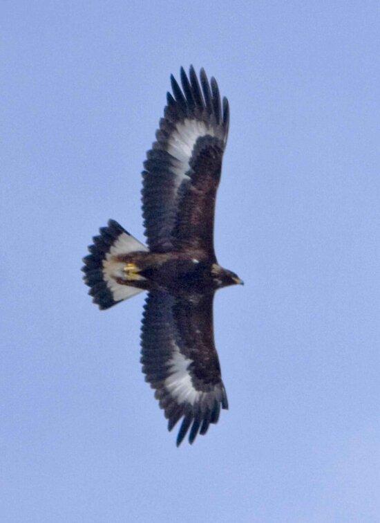 golden, eagle, fight, aquila chrysaetos