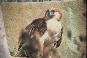 abe, spise, eagle, fugl