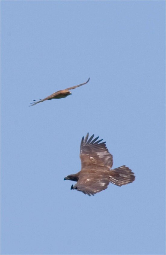 two, eagles, flying, blue, sky