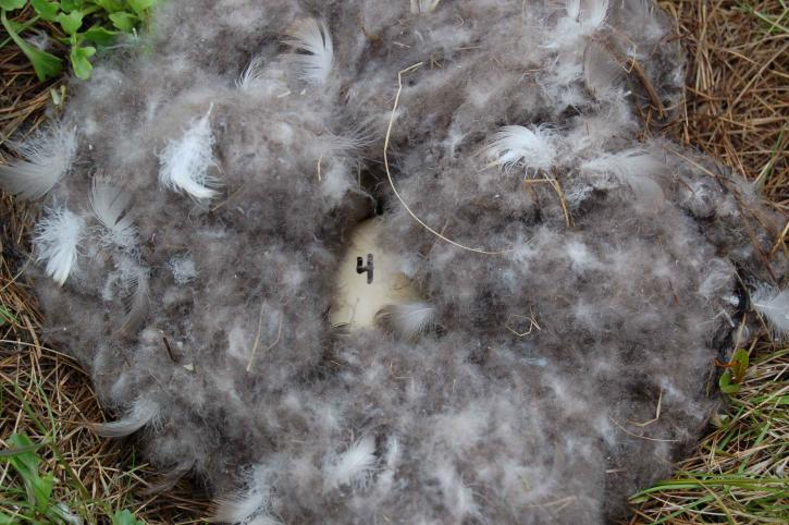 egg, nest, feathers